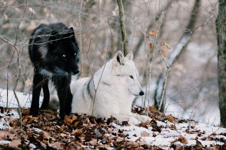 Weisheitsgeschichte: Die zwei Wölfe in unseren Herzen